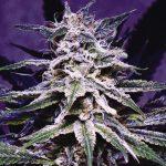 なぜ大麻はいろんな色があるの?理由と効力について!