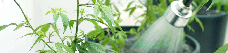 大麻栽培 マラウイ