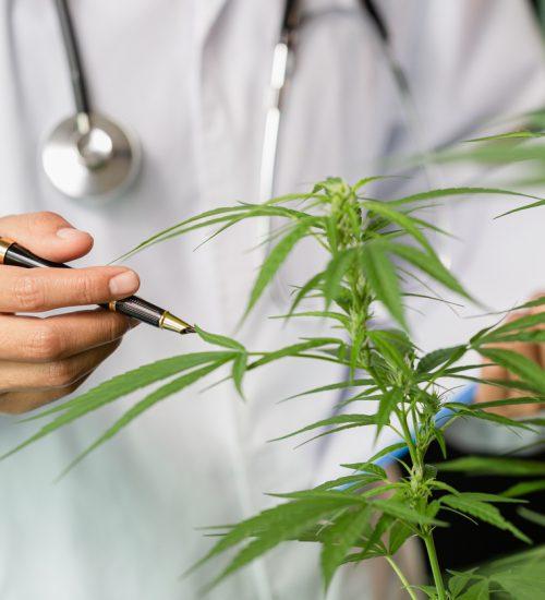 大麻 研究
