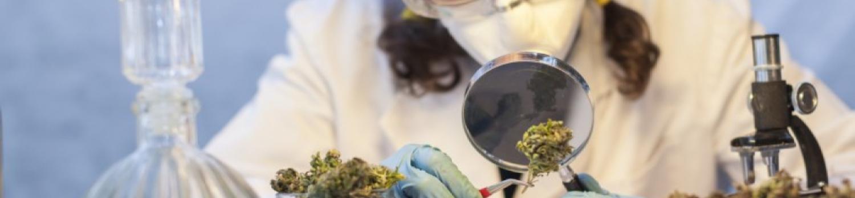 大麻の研究