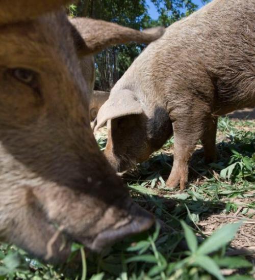 大麻豚養殖事業